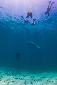 Snorkelers and Manatees